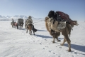 Winter Migration.  Altai Mountains.